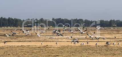 A flock of ethiopian cranes in flight. Seen in Bahir Dar, Ethiopia