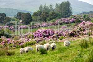 Rhododendron growing in the Vee valley in Ireland.