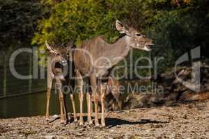 Greater kudu, Tragelaphus strepsiceros is a woodland antelope