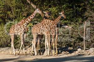 The giraffe, Giraffa camelopardalis is an African mammal