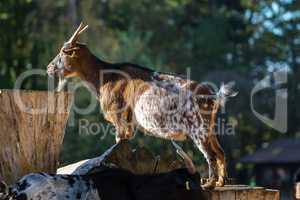 Domestic Goat, Capra aegagrus hircus in a park