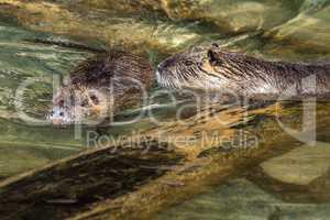 Coypu, Myocastor coypus, also known as river rat or nutria
