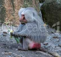 The hamadryas baboon, Papio hamadryas is a species of baboon