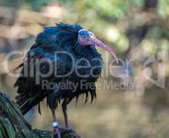 Northern Bald ibis, Geronticus eremita in the zoo