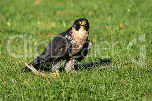 The peregrine falcon, Falco peregrinus. The fastest animals in the world.