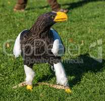 The Steller's sea eagle, Haliaeetus pelagicus s a large bird of prey
