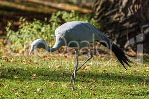 The Blue Crane, Grus paradisea, is an endangered bird