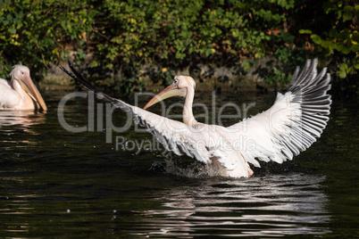 Great White Pelican, Pelecanus onocrotalus in the zoo