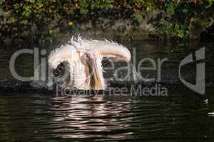 Great White Pelican, Pelecanus onocrotalus in the zoo