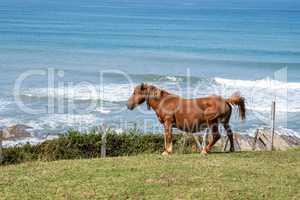 horses pasturing Layers of flysch in Zumaia, Playa de Sakoneta, Spain