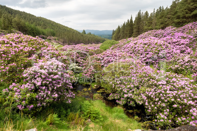 Rhododendron growing in the Vee valley in Ireland.