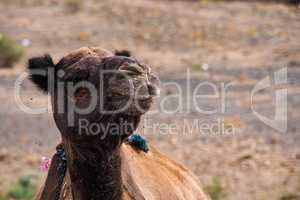 Camels in Moroccan mountains between Midelt abd Erfoud