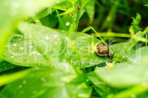 Snail with brown shell on a green leaf after summer rain