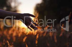 Hand touching wheat spikes at sunset