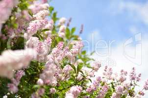 Lilac bush over sky background