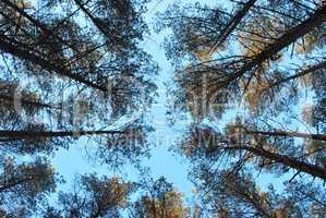 The tall trees in the pine forest against the blue sky