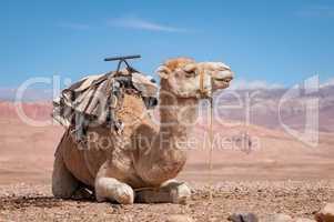 Liegendes  Dromedar vor Atlas Gebirge in Marokko