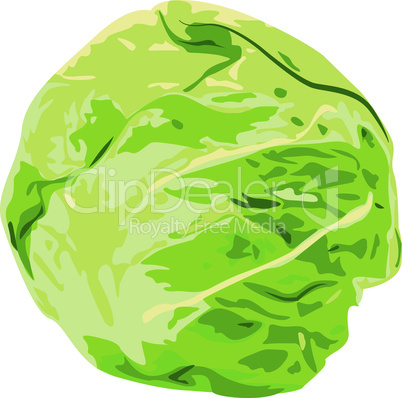 Cabbage vegatable