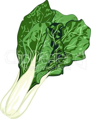COLLARD GREENS vegetable vector illustration