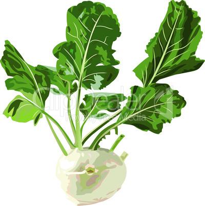kohlrabi vegetable. Vector illustration isolated