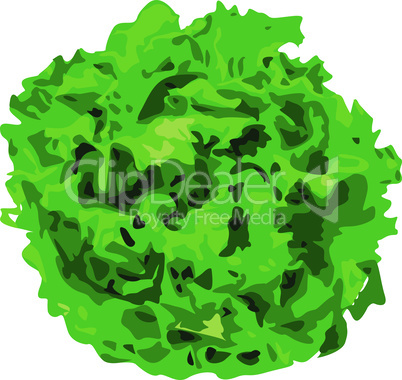 Bunch of lettuce greens on a white background