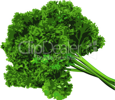 Bunch of parsley vector isolated on a white background.