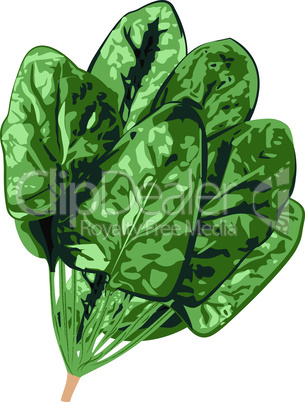 Bunch of spinach vector isolated on a white background