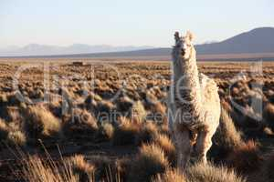 A Lama looks into the lens in the Altiplano in Bolivia