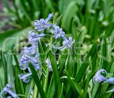 blooming blue hyacinth in the garden