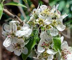 branch with white blooming pear flowers