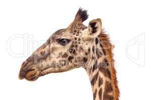A portraite of giraffe on the savanna in Tanzania