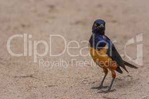 A colorful Superb Starling in Tanzania