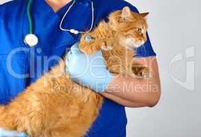 Veterinarian in blue uniform and sterile latex gloves holds  big