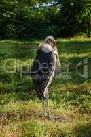 Marabou stork african bird standing up