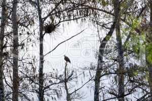 Bald eagle Haliaeetus leucocephalus perches on a dead tree