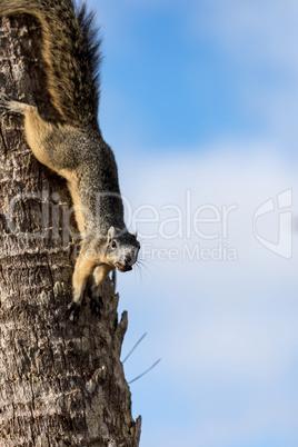 Alert big cypress fox squirrel Sciurus niger avicennia gathers n