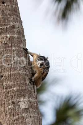 Alert big cypress fox squirrel Sciurus niger avicennia gathers n