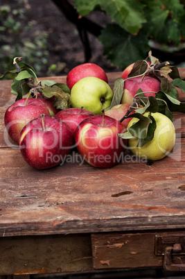 freshly harvested crop rustic apples