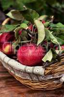 freshly harvested crop rustic apples