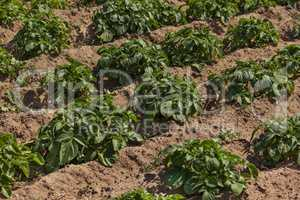 Organic bio healthy potato field in a village in northern Morocco