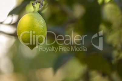 Bio organic lemon fruit hanging on the tree