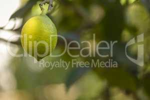 Bio organic lemon fruit hanging on the tree