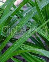 long green leaves with water drops