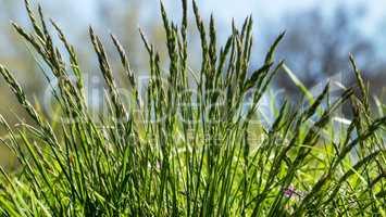 Flowering grass in detail - Allergens - Allergy