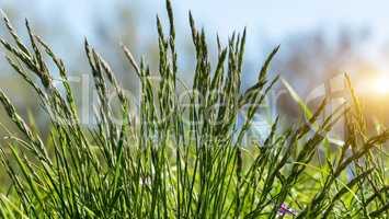 Gras auf dem Deich an der Elbe
