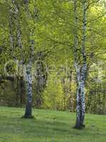 Spring Birch Grove in a Sunny Day