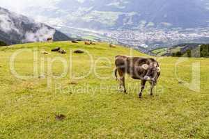 Kuh auf Almwiese, Südtirol, Italien, cow on meadow, south tyrol