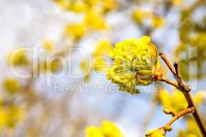 maple blossom in spring in Poland