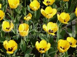 yellow tulip at spring on Earth
