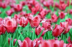 red tulip at spring